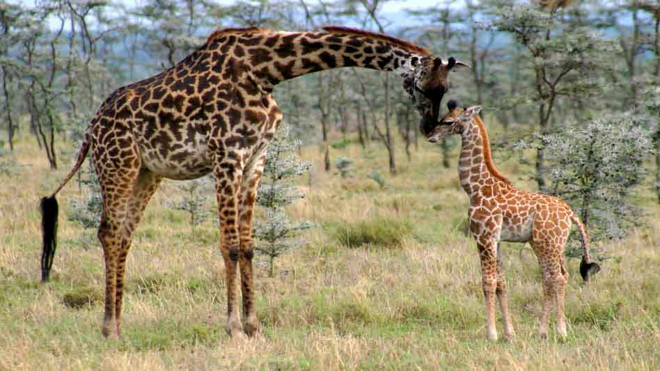 Harps On Willows Patterns Of Promise Giraffe Mother Love