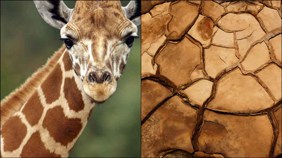 Harps on Willows Patterns Of Promise Giraffe Spots And Cracked Mud